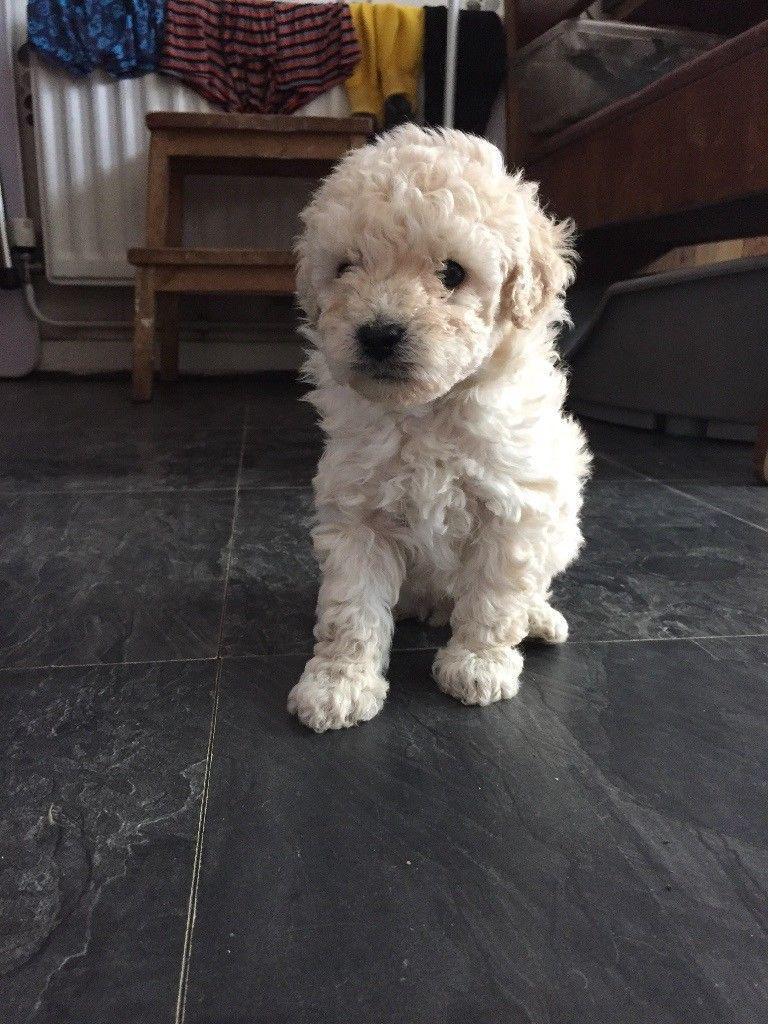 Westiepoo Puppy Cute Animals Puppies Dog List