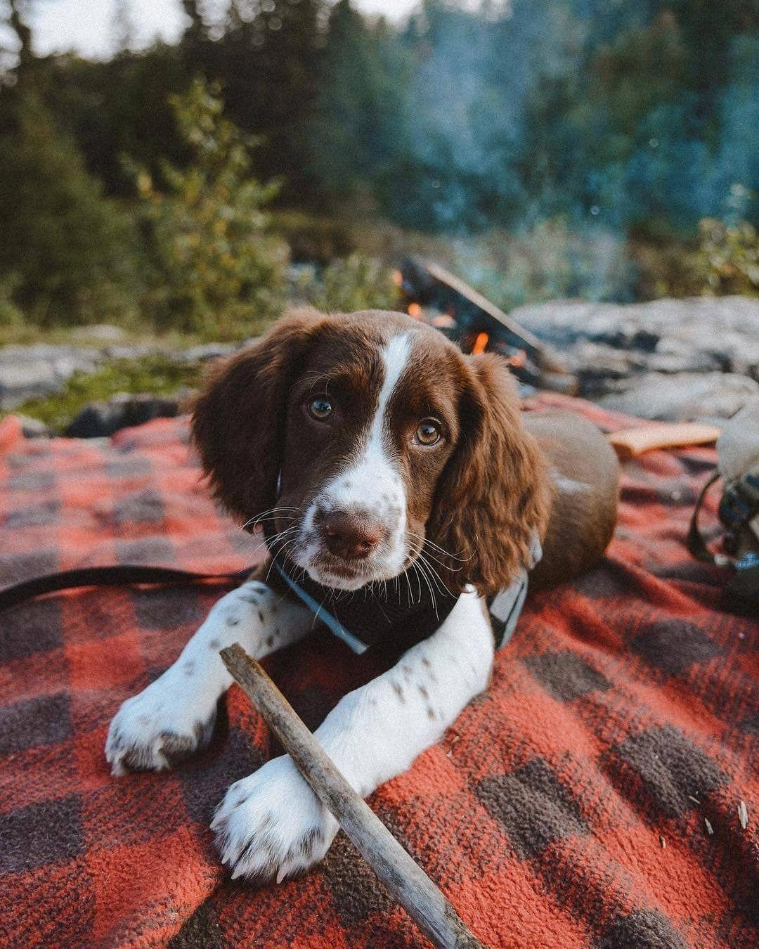 Happy Dog Springer spaniel puppies, Spaniel puppies, Dogs