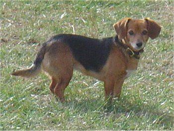 Beagle Dachshund Mix Doxle This Looks Like Holly I Wonder If