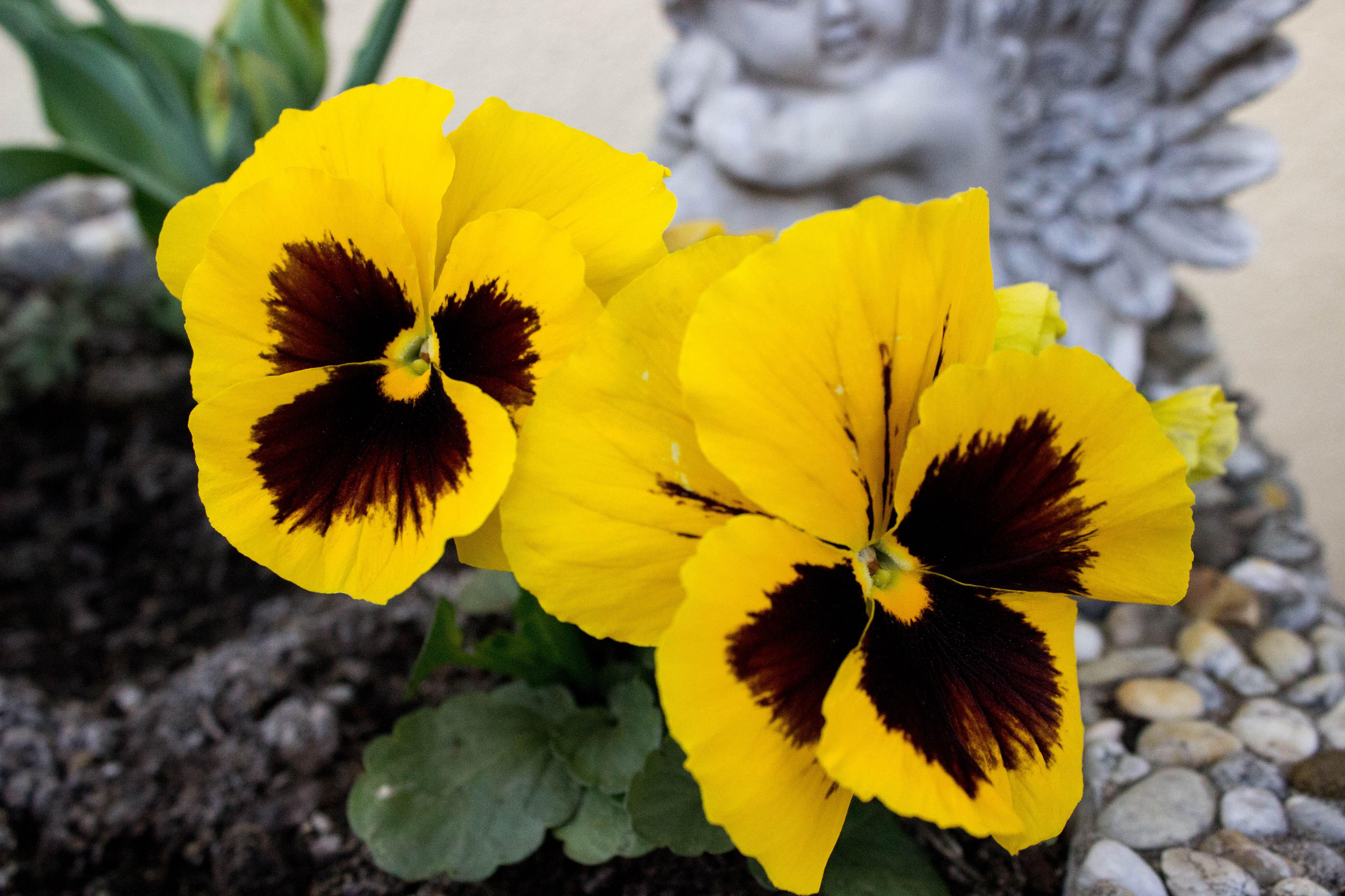 Gelbe Stiefmütterchen! Yellow pansy! #pansy #flower #garden #spring