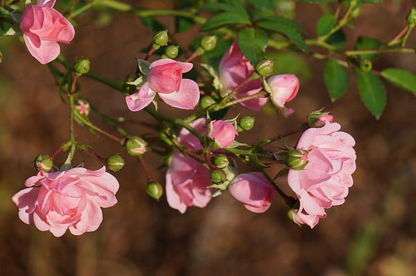 Beautiful capture of roses, by Zori