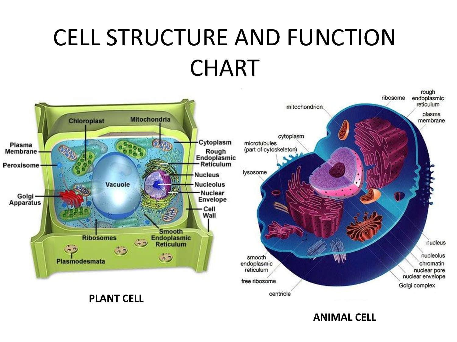 Cell Chart Viewing Gallery For Plant Structure Diagram And Function Estudos Pinterest