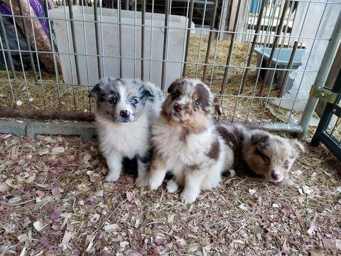 Litter Of 5 Australian Shepherd Puppies For Sale In Garland Nc Adn