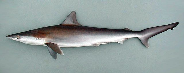 https://www.google.com.mx/search?q=talla de tiburones en madera
