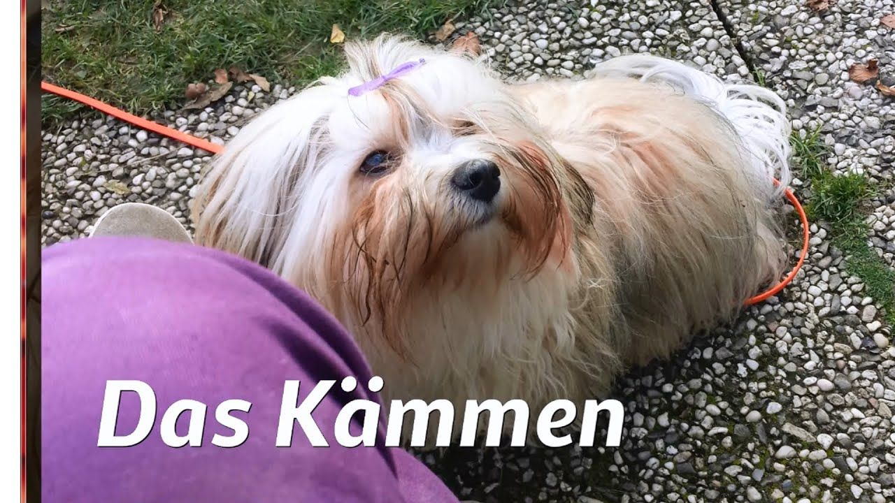 Havaneser Fellpflege Kammen Havanese Grooming Youtube Havaneser Havaneser Hund Hundepflege
