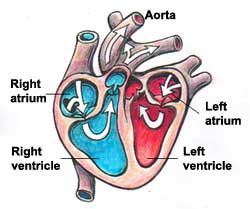 Names and functions of the heart education technology spring names and functions of the heart diagram ccuart Gallery