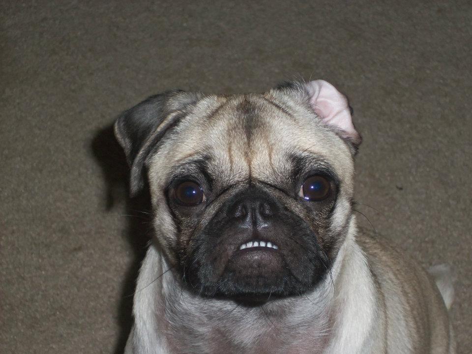Bottom Tooth Pug Birthday Pug Pugs Animals