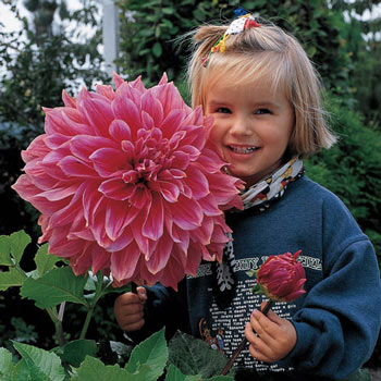 Emory Paul Dahlia Buy Xxl Wow Dahlias Online Breck S In 2020 Bulb Flowers Dahlia Dahlia Flower