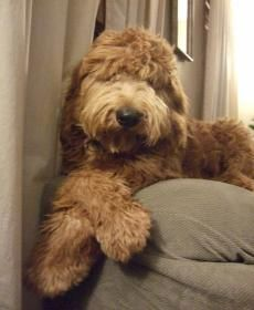 Goldendoodle And Labradoodle Puppies In Michigan Quality Puppies