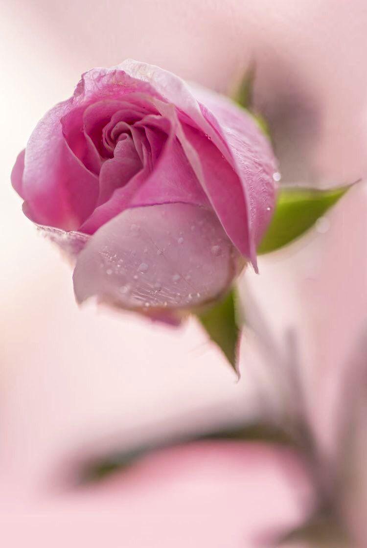 خاص بملحقات التصميم On Twitter In 2021 Beautiful Rose Flowers Rose Buds Beautiful Roses