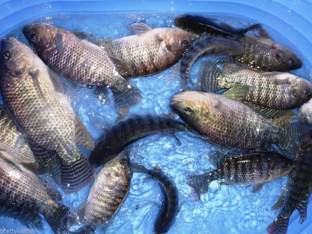 7 Lot BroodStock Blue Tilapia Fish 5 Female 2 Male For Aquaponics Algae Control