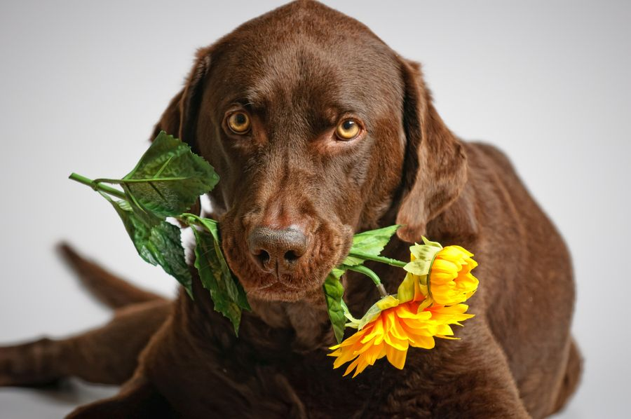 Labrador Retriever Choco Opawz Com Supply Pet Hair Dye Pet Hair Chalk Pet Perfume Pet Shampoo Spa Labrador Dogs Chocolate Labrador Retriever Labrador