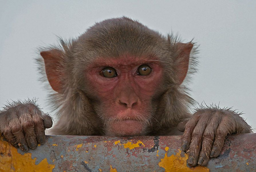 Monkeys Make The Same Bad Gambling Decisions That Humans Do - Psychology, Biology