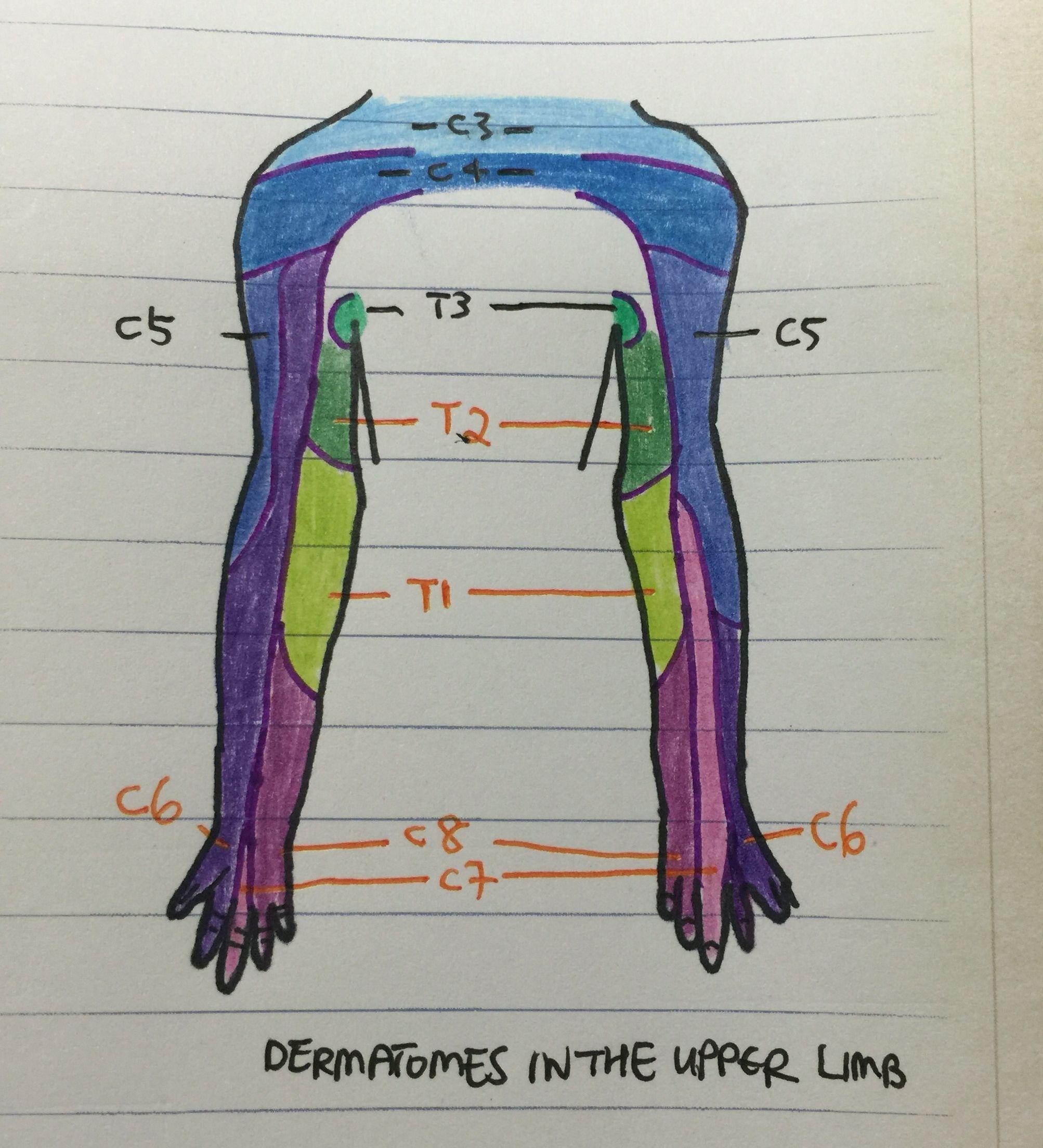 Upper limb dermatomes medicine pinterest medicine upper limb dermatomes pooptronica