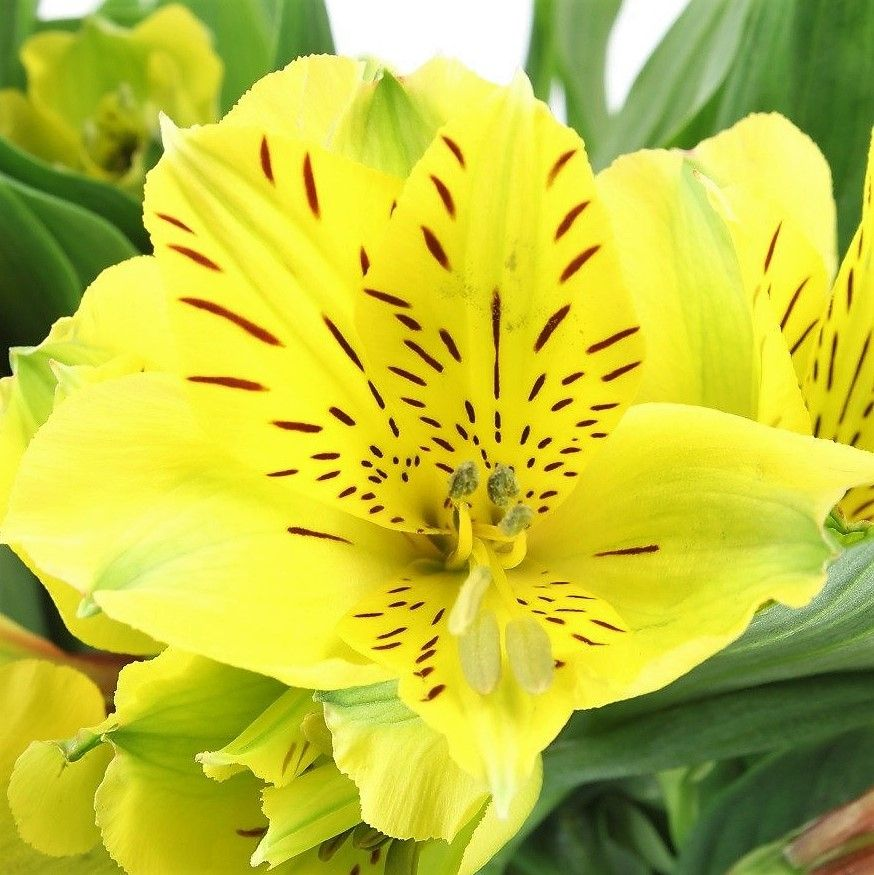 Yellow Alstroemeria Florabundance Wholesale Flowers In 2020 Online Wedding Flowers Alstroemeria Diy Wedding Flowers