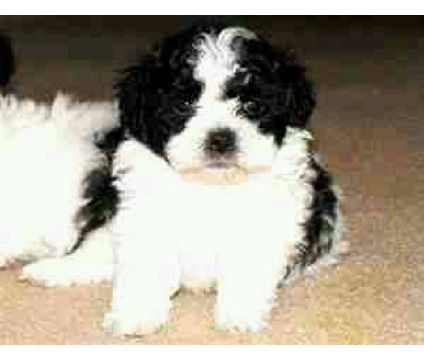 Dogs For Sale In Ashburn Virginia Dogs Cute Dogs Puppies