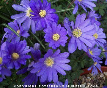 Anemone Blanda Blue Blue Flowers Anemone Flowers