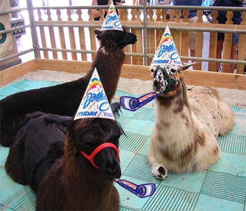 Who Wouldnt Love A Llama In Party Hat