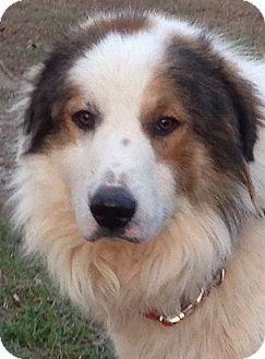 Jasper Tn Great Pyrenees Collie Mix Meet Fredrick A Dog For