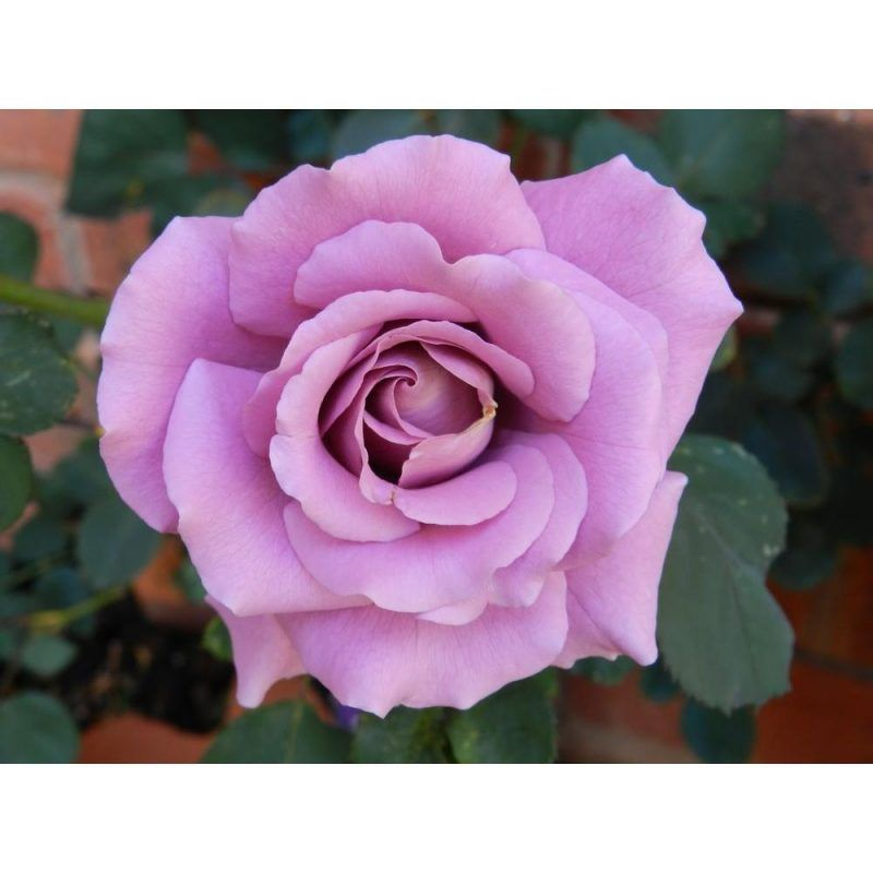 When Should I Prune My Roses Bless My Weeds Get Rid Of Dandelions Pruning Roses Plants