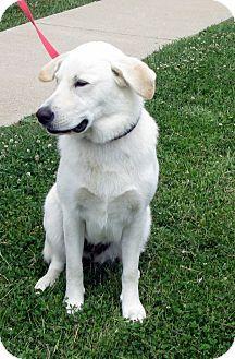 Lagrange Ky Labrador Retriever German Shepherd Dog Mix Meet Bella A Dog For Adoption Labrador Retriever Shepherd Dog Mix Labrador