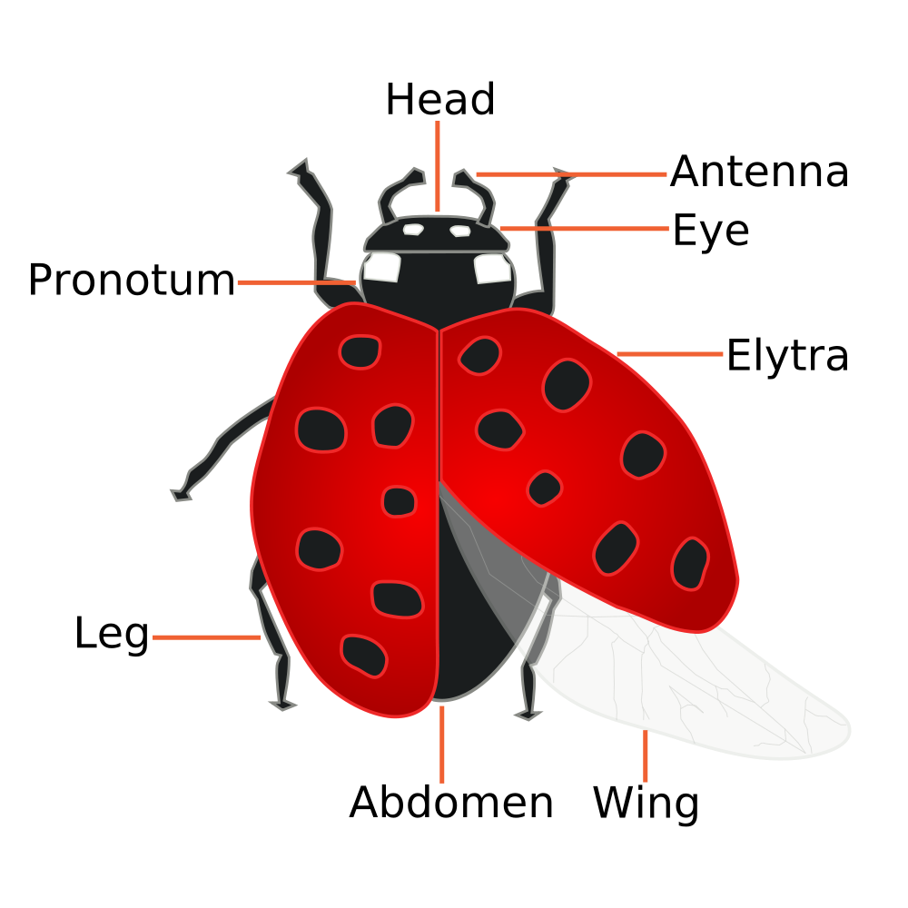 A diagram of the basic anatomy of the coccinellidae ladybug a diagram of the basic anatomy of the coccinellidae ladybug pooptronica Gallery