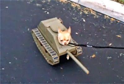 Fieggentrio: Halloween voor honden: Chihuahua als tank (filmpje...