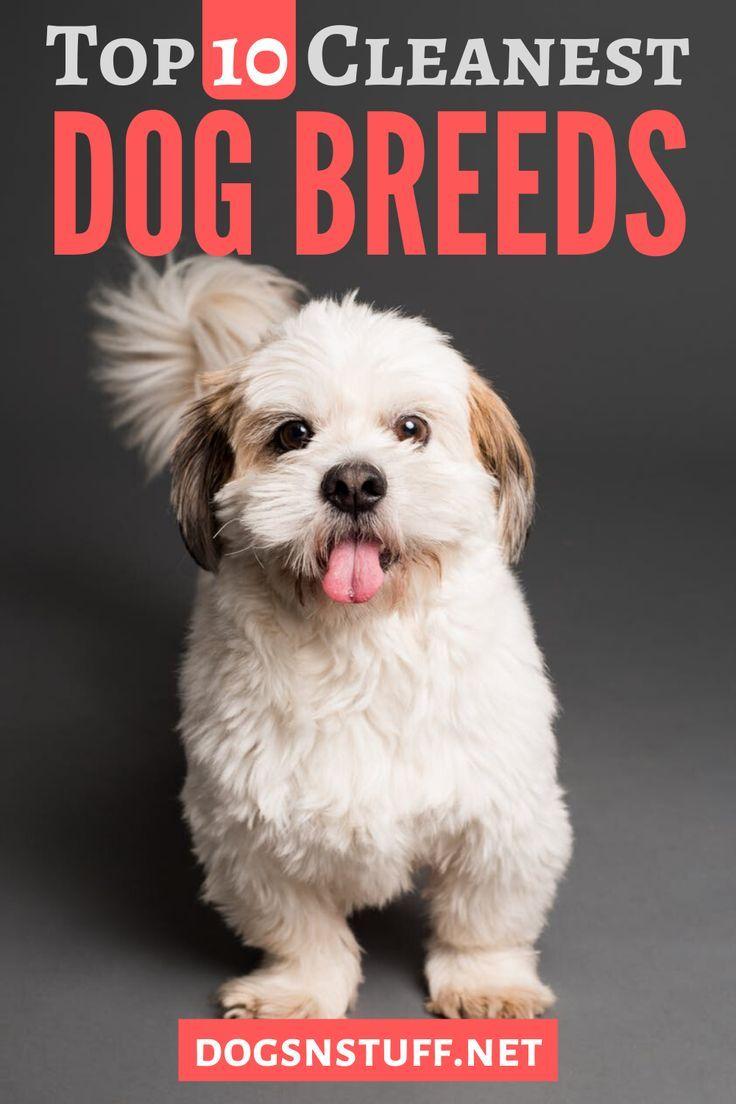 10 Cleanest Dog Breeds Neat Freaks Should Own In 2020 Calm Dogs Dog Psychology Dog Breeds