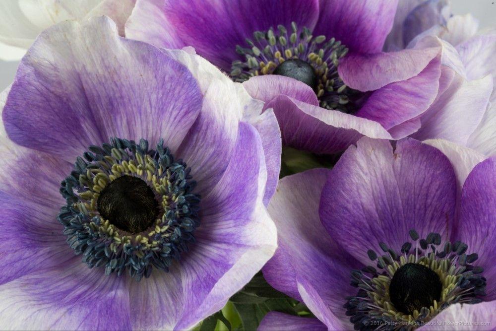 In The Studio Purple Poppy Anemone Flowers Beautiful Flowers Pictures Anemone Flower Purple Poppies