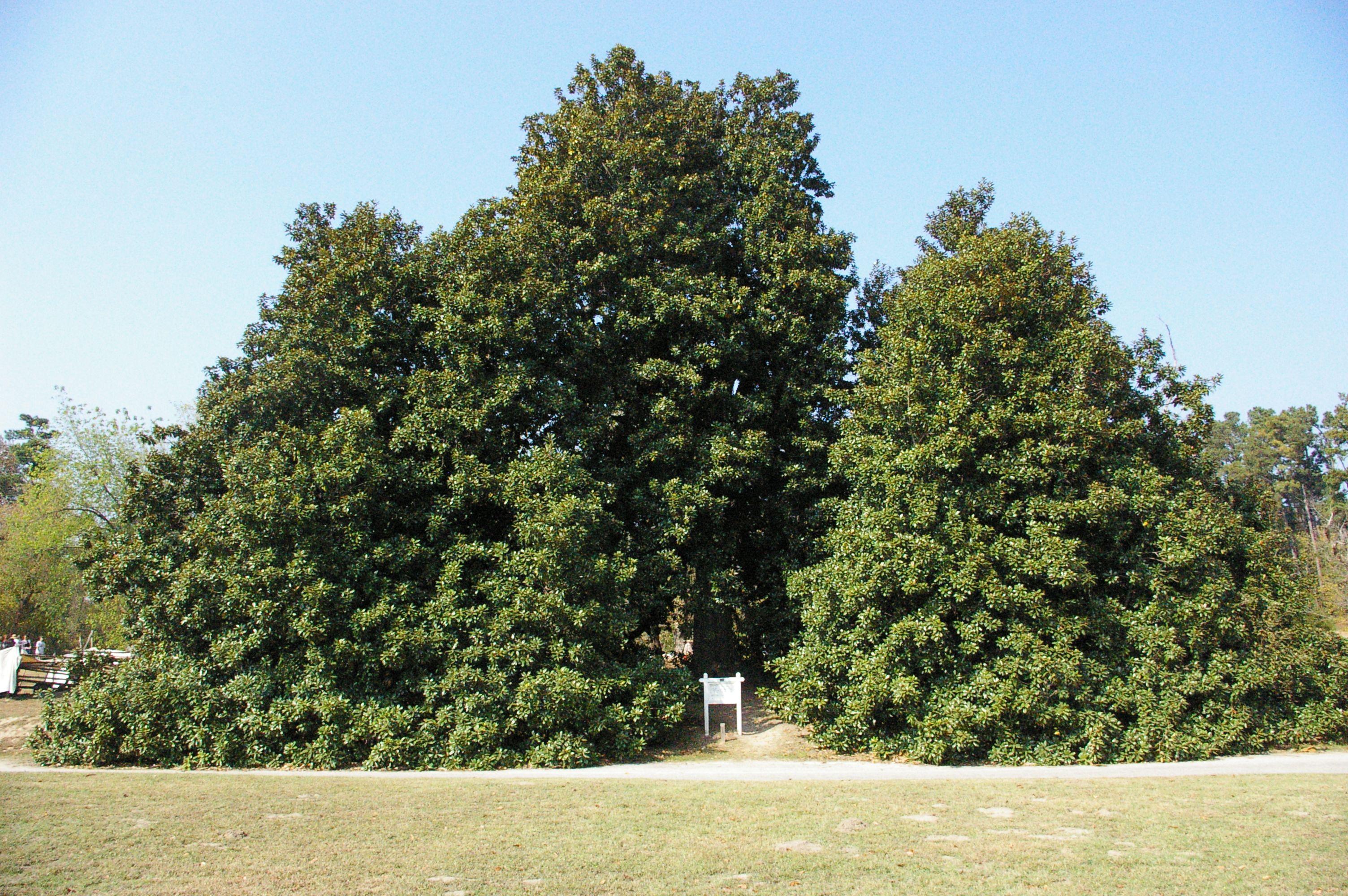 Worlds Largest And Possibly Oldest Magnolia Tree Old Washington