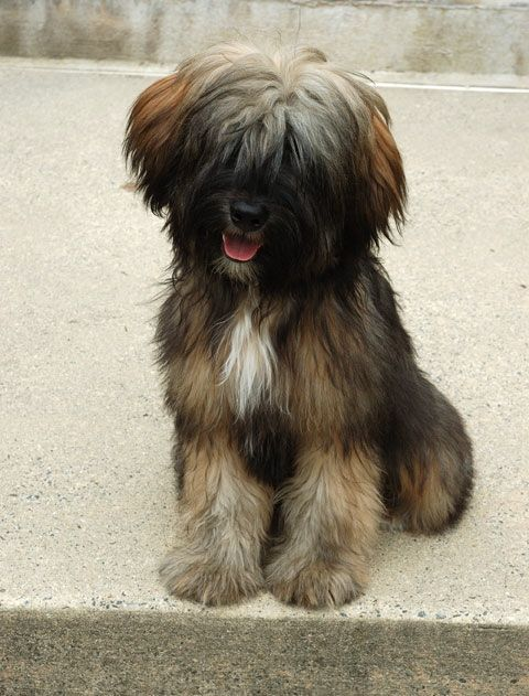 Our Dogs Photo Gallery Album 1 Photo 14 Tibetan Terrier Dogs