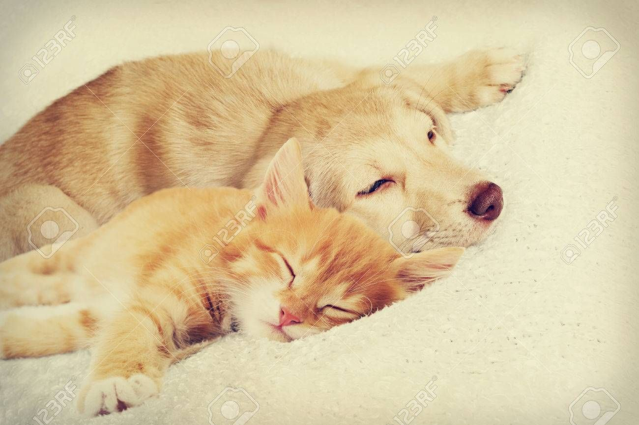 kitten and puppy sleeping together Stock Photo , #affiliate, #puppy, #kitten, #sleeping, #Photo, #Stock