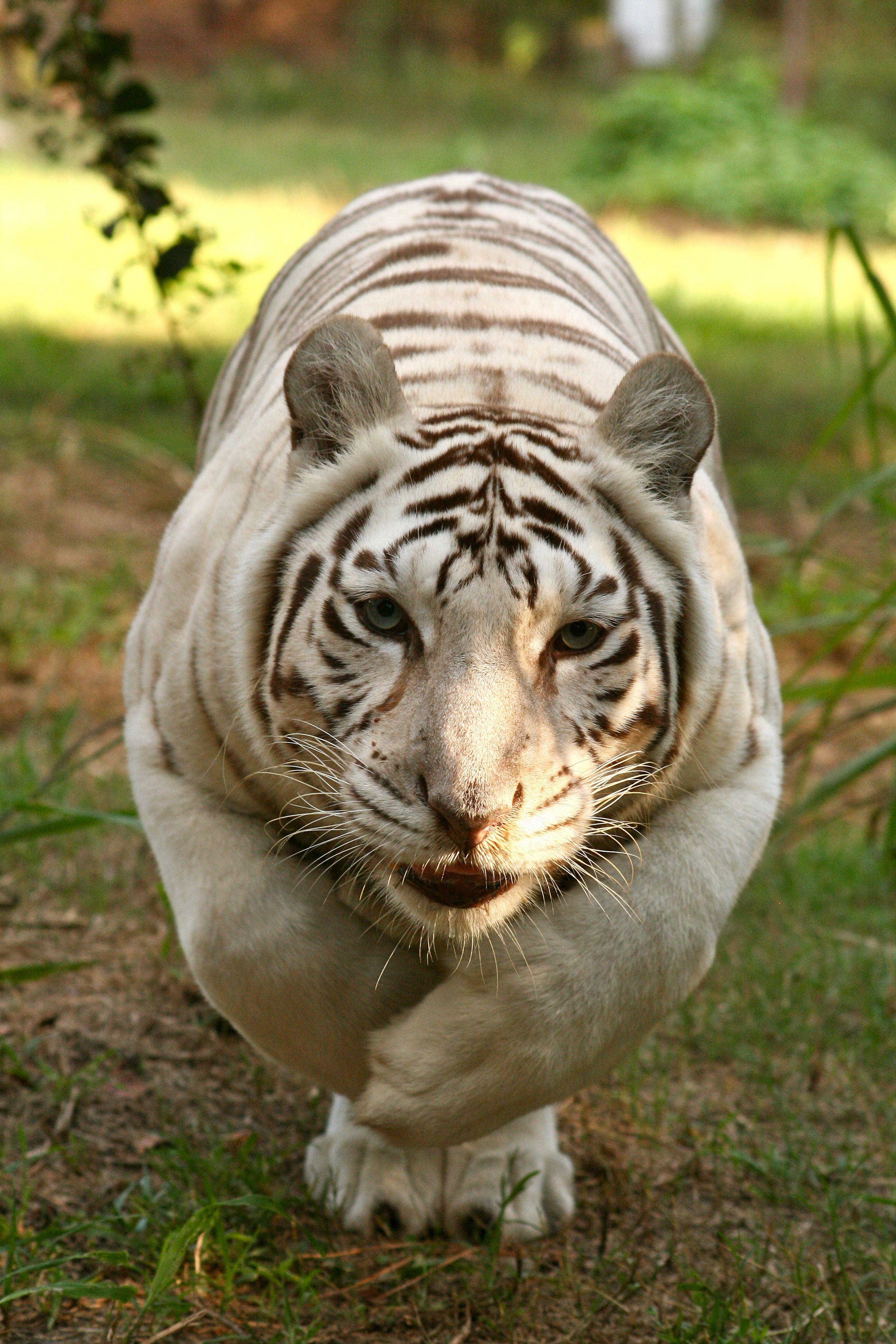 ZABU White Tiger. Big Cat Rescue, Tampa, Florida Big