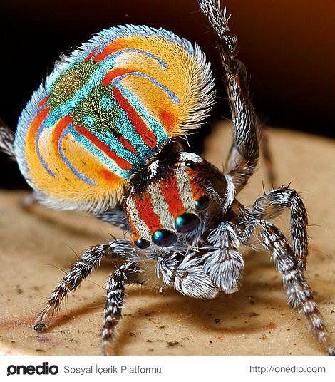 Örümcekleri Hiç Bu Kadar Renkli ve Sevimli Görmüş müydünüz? İşte 24 Kanıtı! #insects
