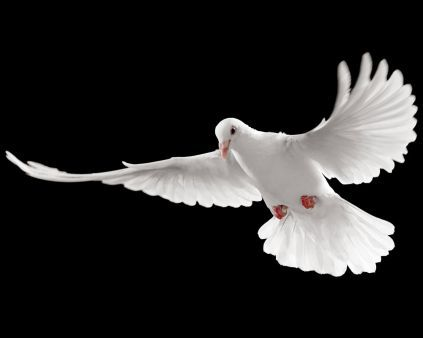 A Beautiful Picture Of The Absolute Peace Symbol Pigeon Wallpaper Downloaded From Http Alliswall Com White Pigeon Birds Flying Birds White pigeon hd wallpaper download