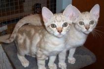 Australian Mist Kittens Male Female 1 3 Months Chocolate