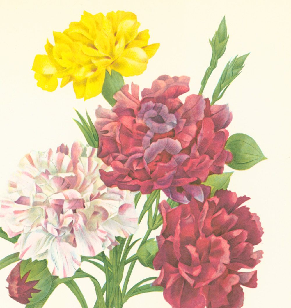 Oeillet variété P.J REDOUTE  Botanique Fleurs Decor Maison Rustique Decoration Murale Vintage Nature de la boutique sofrenchvintage sur Etsy