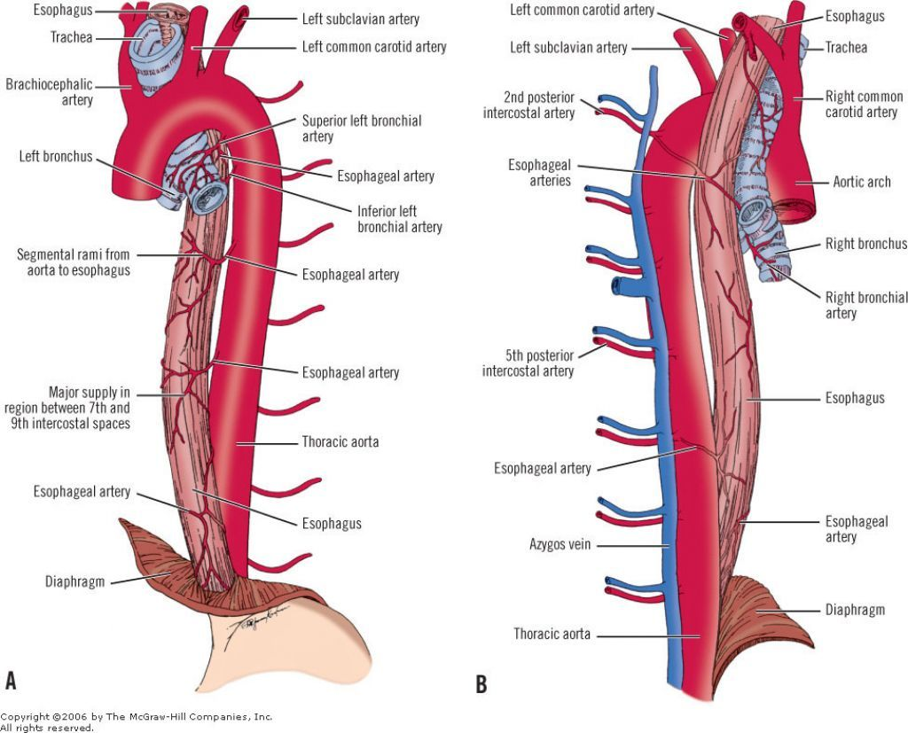 esophagus anatomy - Google Search | GI | Pinterest | Anatomy, Gross ...