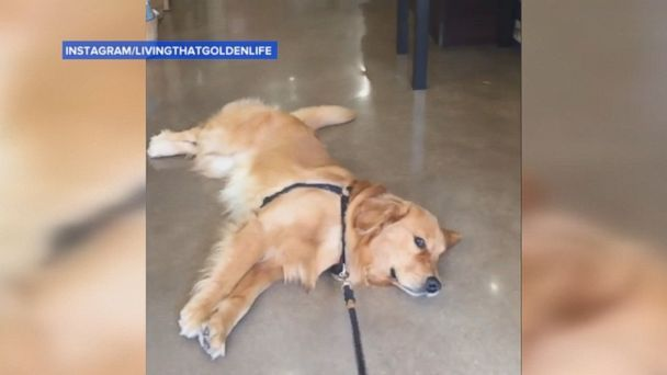 This Golden Retriever Doesn T Want To Leave The Pet Store Pet