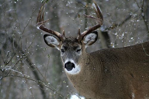 White-tail Deer 10 Point Winking