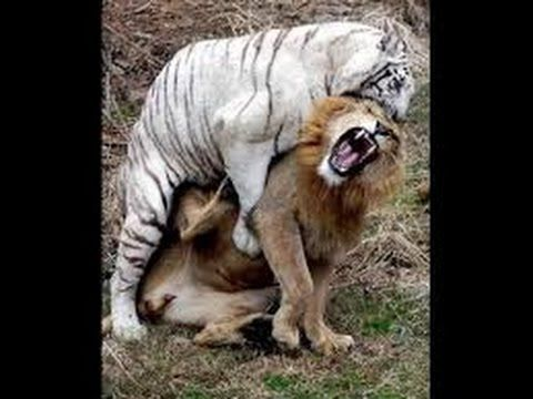 Lion Vs Tiger Real Fight In Jungle Animals Fight Dog Boarding Near Me African Lion Majestic Animals