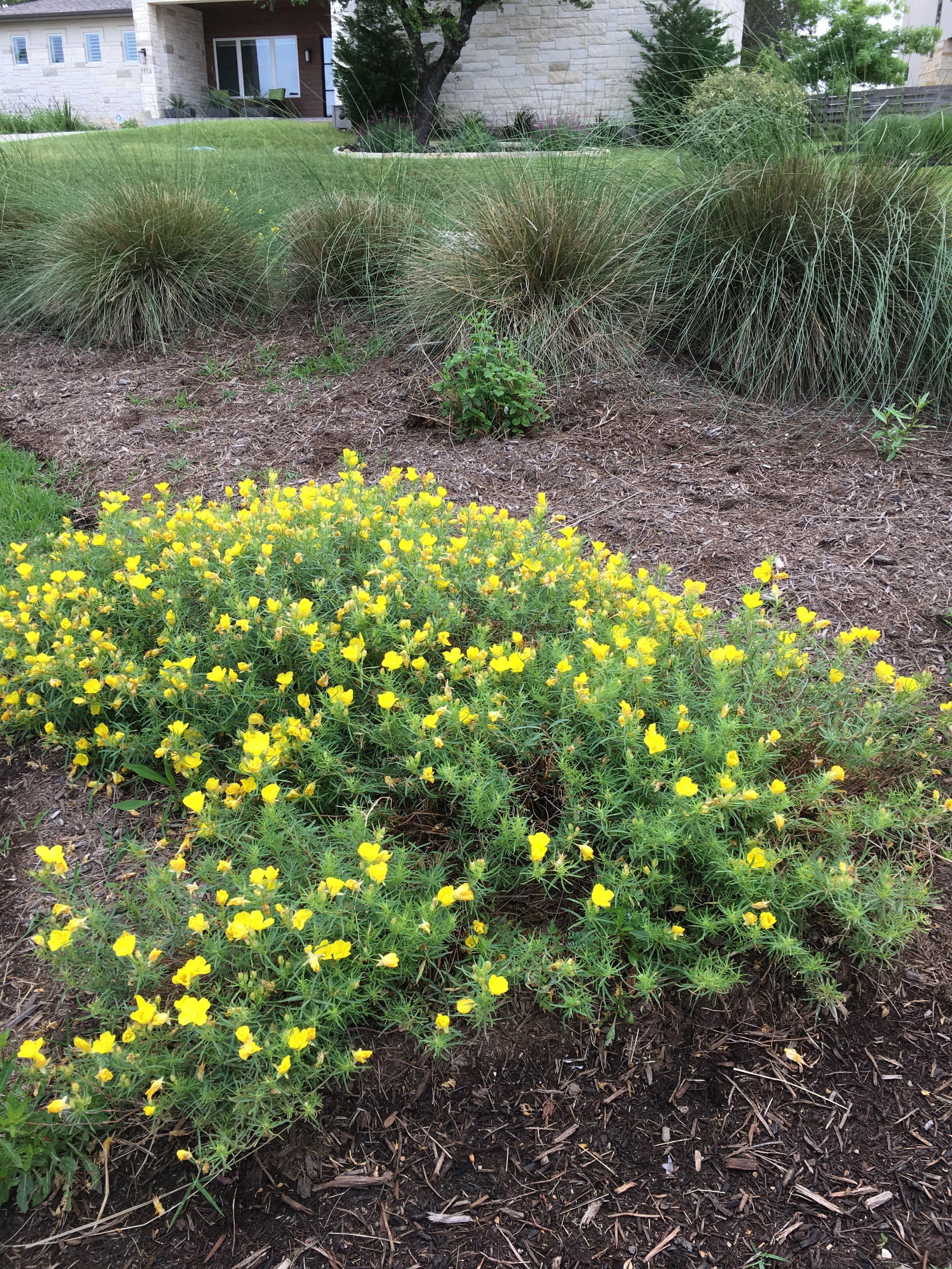 Calylophus Berlandiari Square Bud Primrose Grows 1 Ft Tall