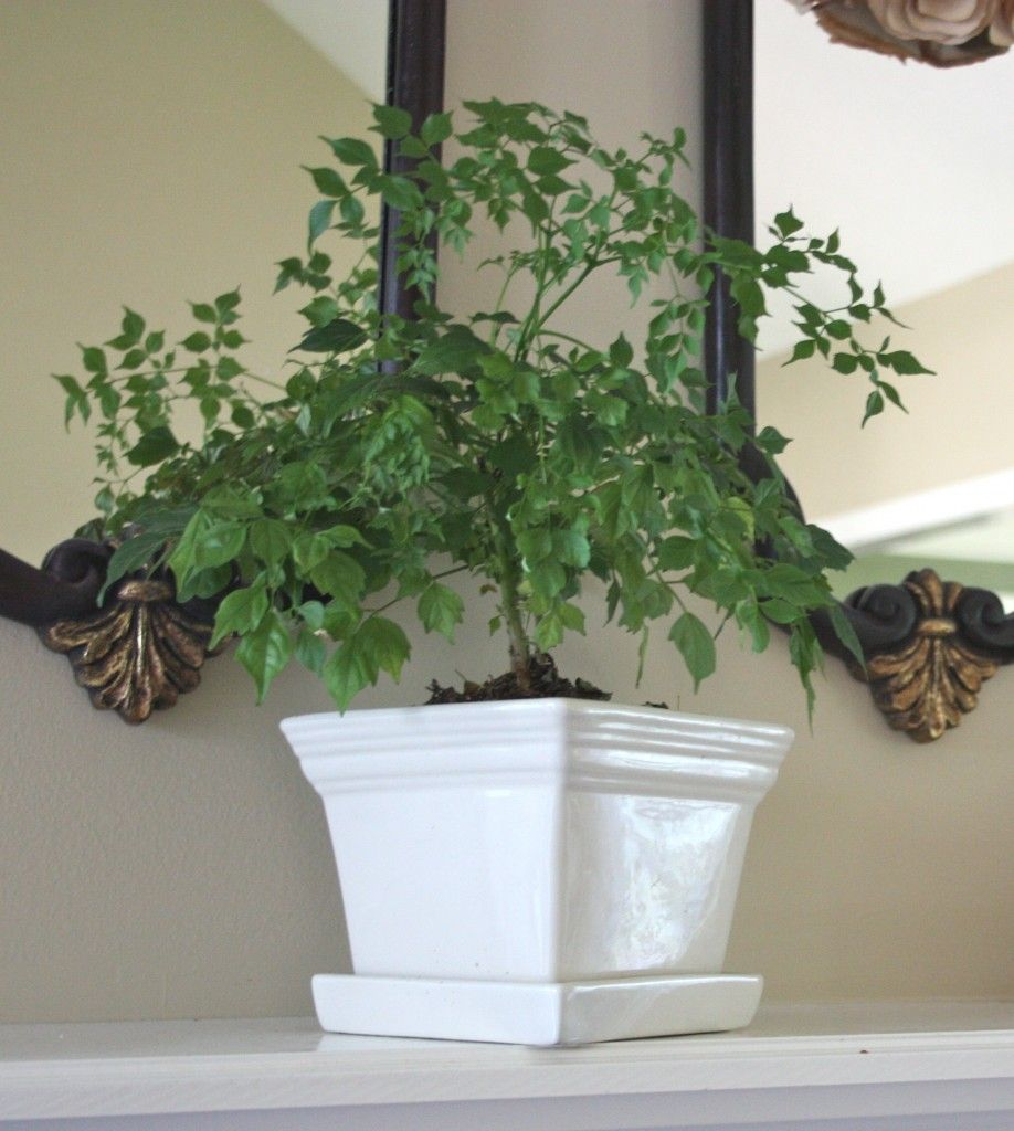 Large Of China Doll Plant