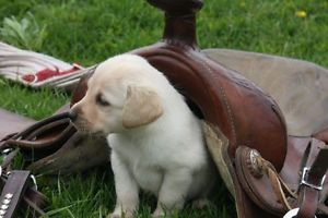 Yellow Lab Puppies Yellow Lab Puppies Pet Dogs Puppies