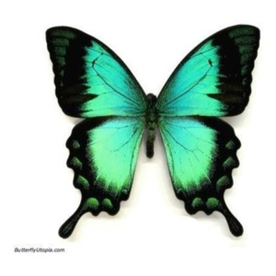 Image detail for -Papilio lorquinianus aqua blue/green swallowtail butterfly pictures ...