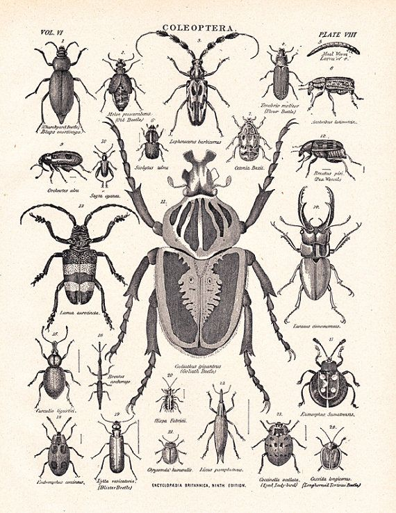 vintage beetle print, titled Coleoptera, an illustration from a 1904 ...