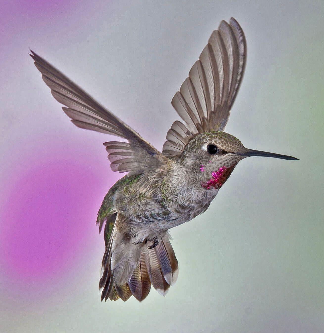 Anna's hummingbird Annas hummingbird, Hummingbird, Bird