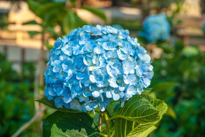 Hydrangeas Are Common Landscaping Shrubs That Dot Suburbs And Rural Homesteads Alike And Their Meanings M Flower Meanings Hydrangea Flower Big Leaf Hydrangea