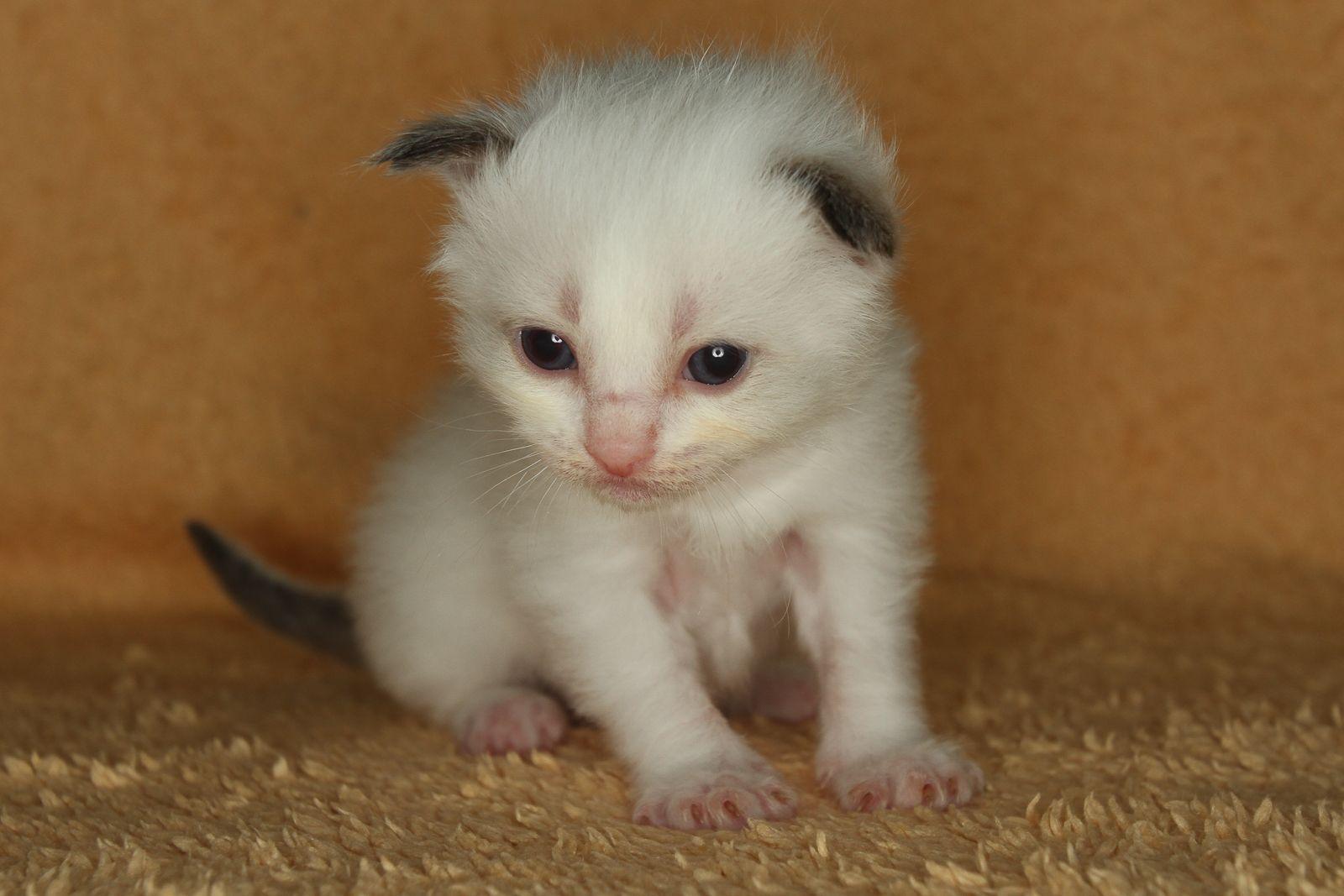 2014 Fillmore A Zwollywood Cat 3 Weeks Old Ragdoll Kitten Seal