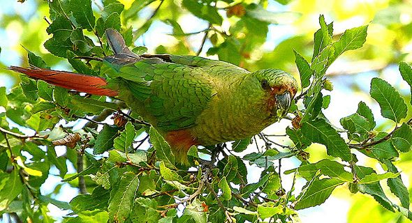 Emerald Parakeet (Enicognathus ferrugineus) or Austral Conure